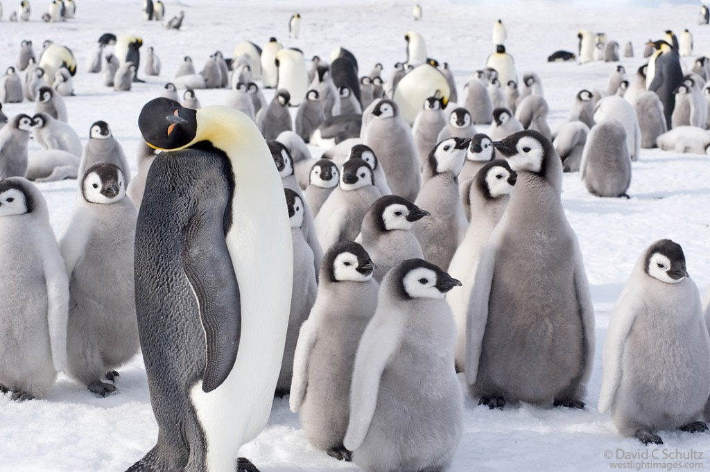 Penguins and their beauty.