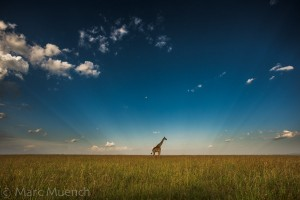 Giraffe by Marc Muench.