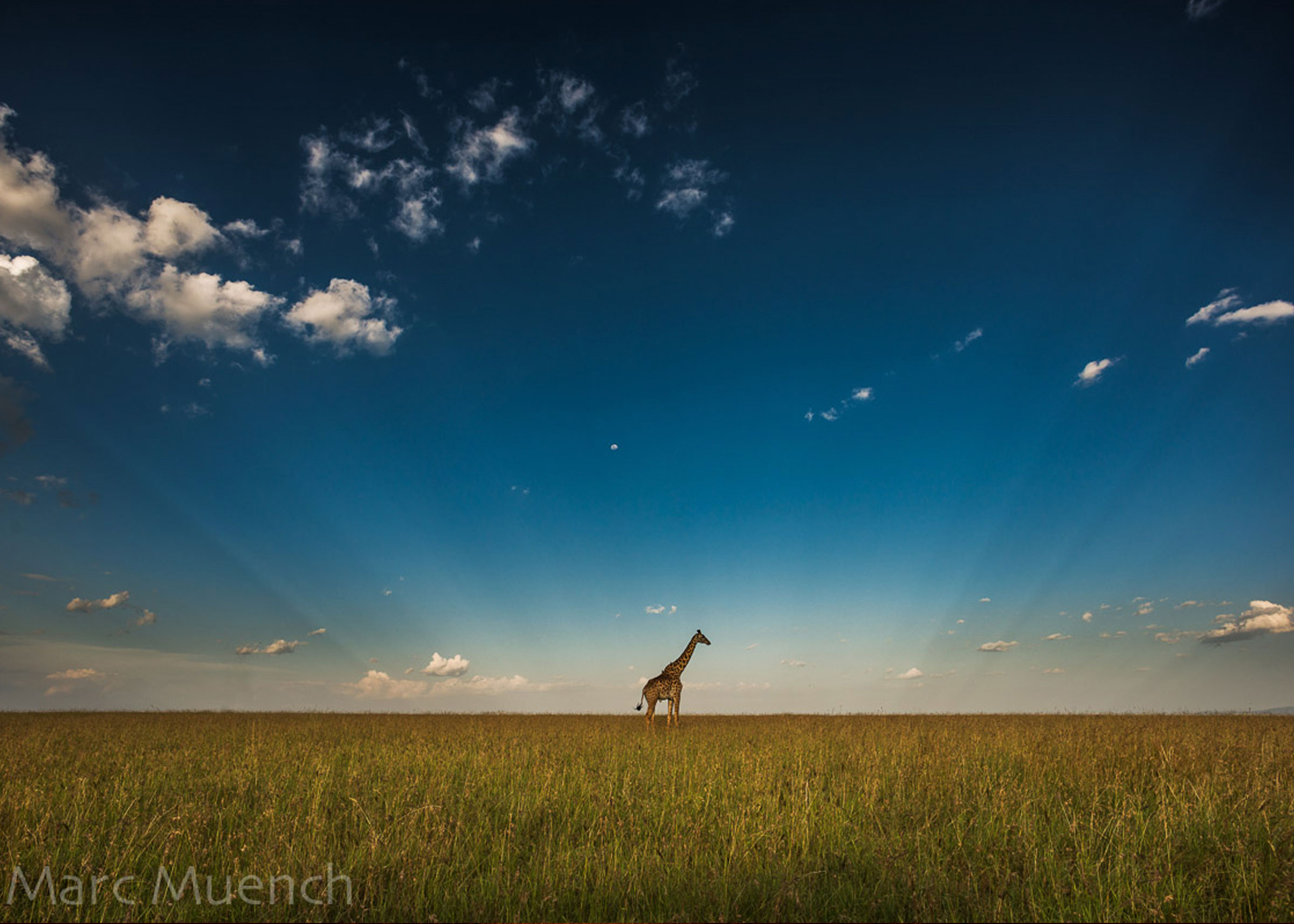 Giraffe by Marc Muench