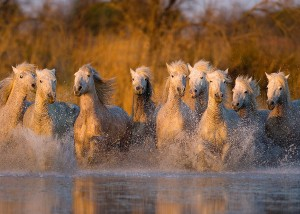 White horses of Camargue by Jim Zuckerman