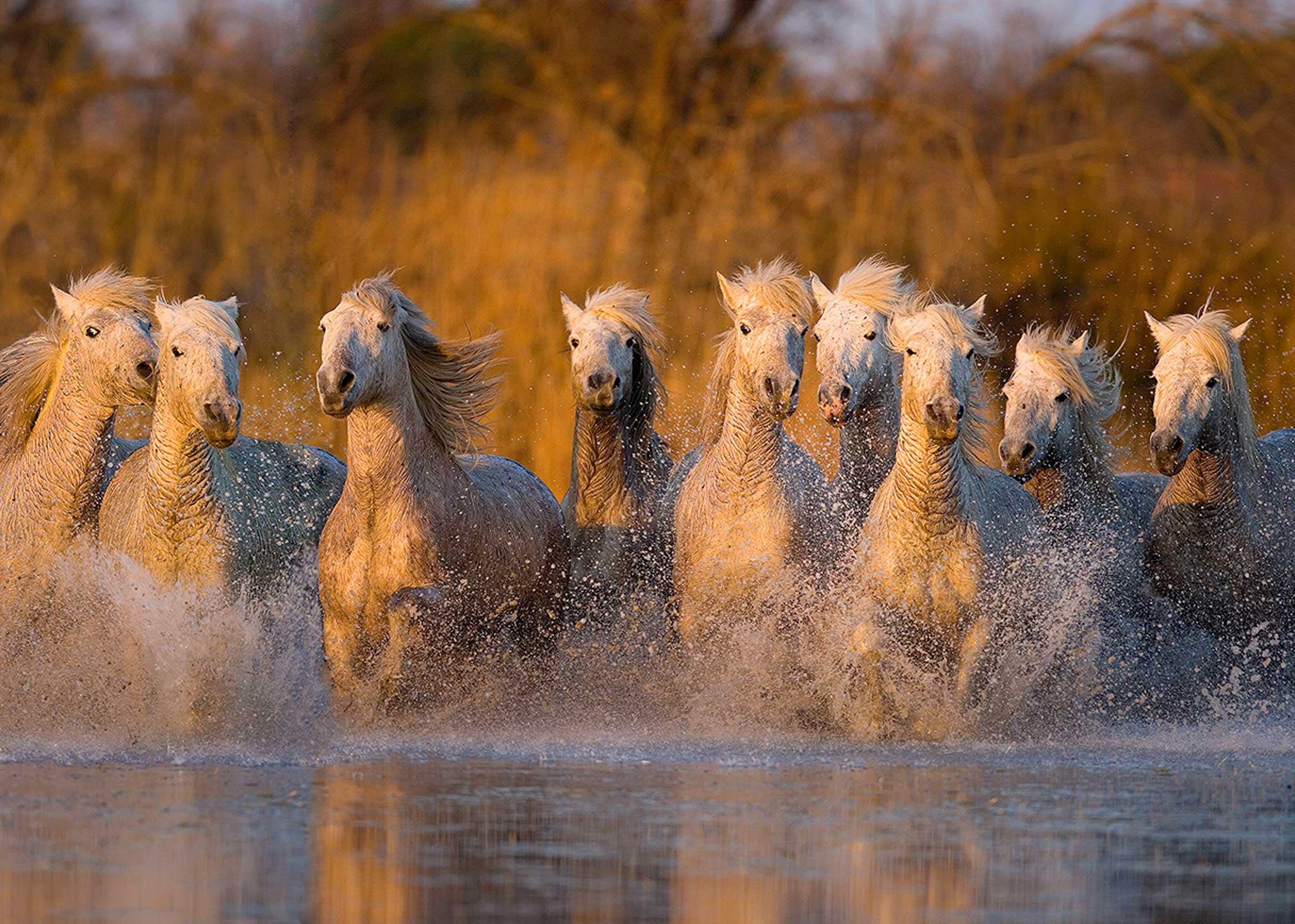 White horses of Camargue by Jim Zuckerman