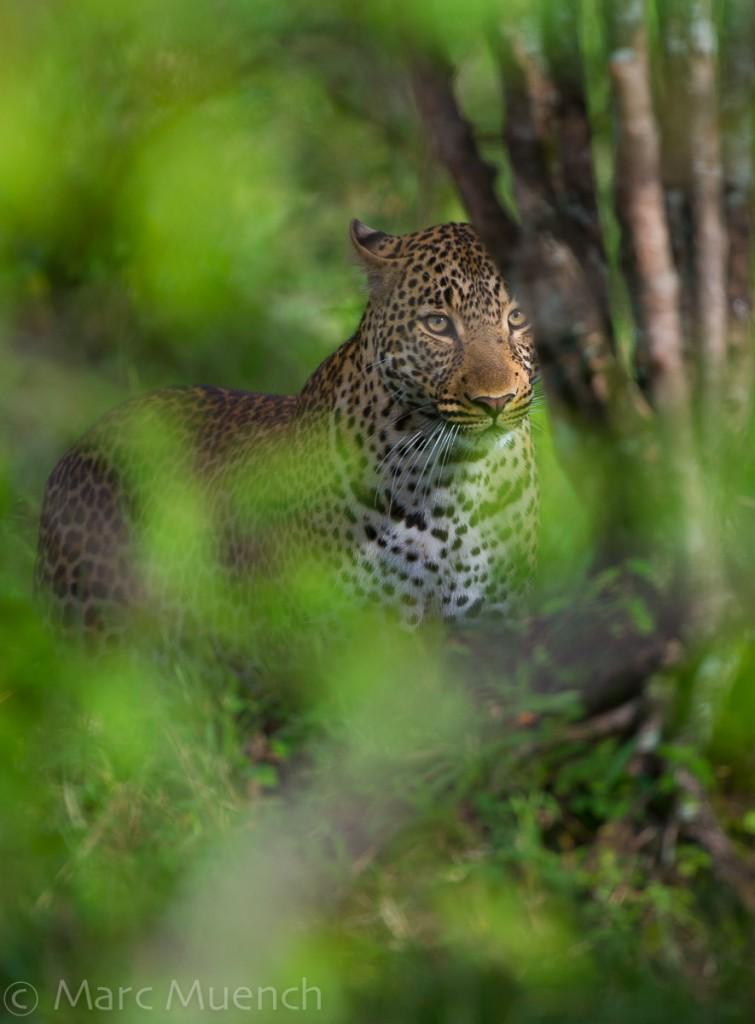 Leopard, Maasai Mara National Reserve, Kenya