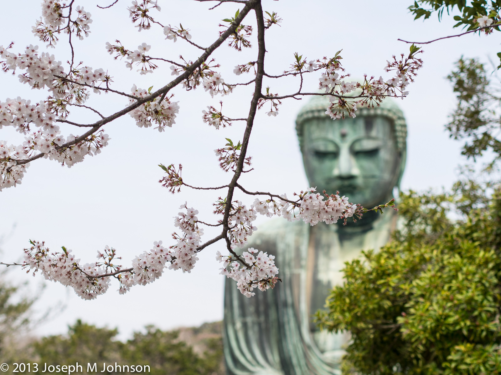 Sakura blooms against the Daibutsu