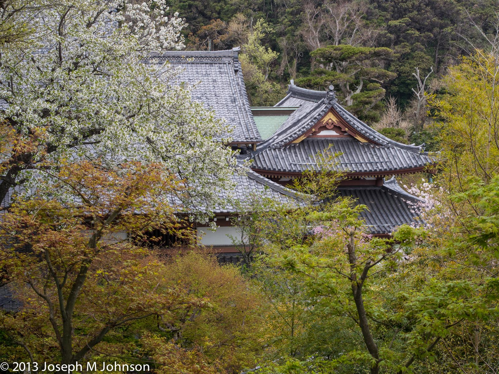 Sakura blooms against the temple roofline
