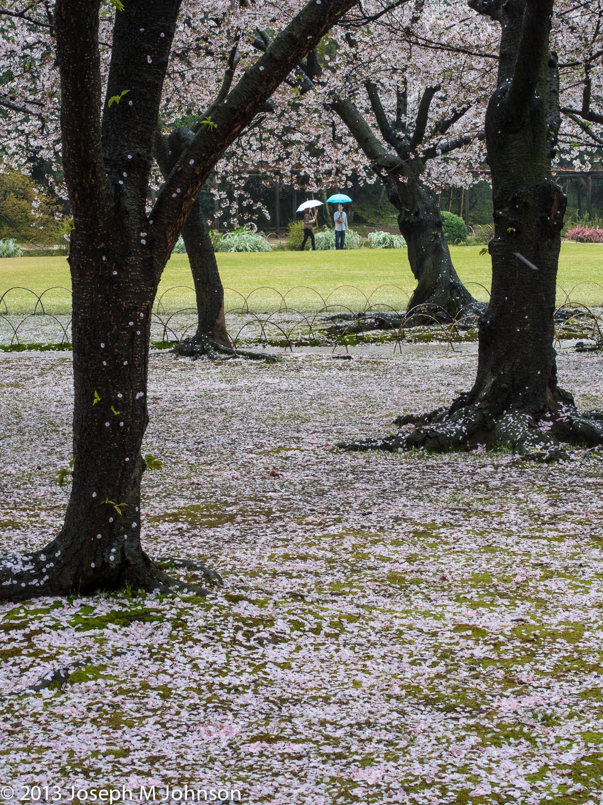 Okayama Korakuen garden: Sakura petals carpet the ground