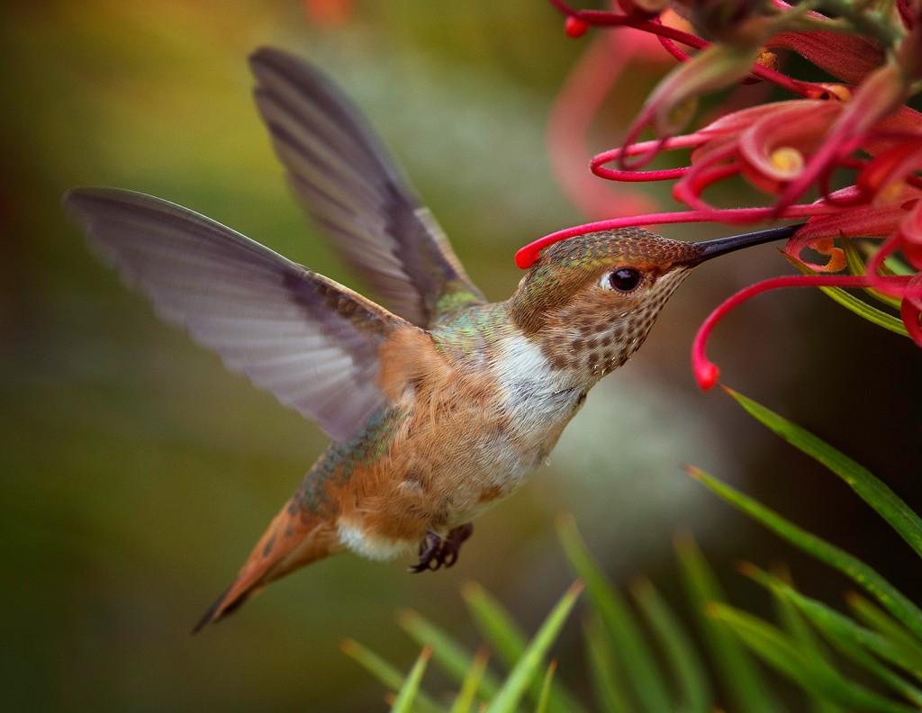 Allen's Hummingbird by Barry Blanchard