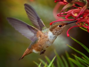 Allen's Hummingbird by Barry Blanchard