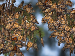 """Butterflies"" by Bob Canepa"
