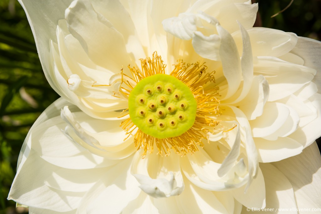 """Water Lily flower and seedpod"" (color) by Ellis Vener"