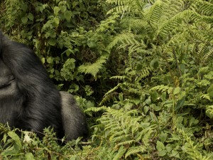 Mountain Gorillas of Agashya Group