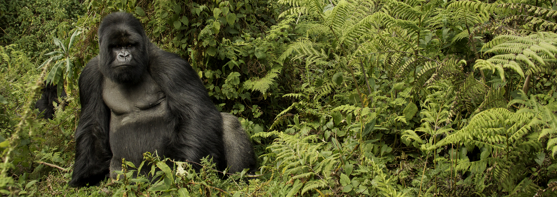 Mountain Gorillas of Agashya Group