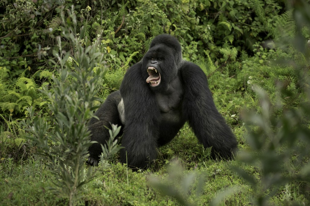 Silverback gorilla from Kwitonda group confronting another family group, Sabyinyo, in a threat dispaly involving barred teeth and tongue wagging.