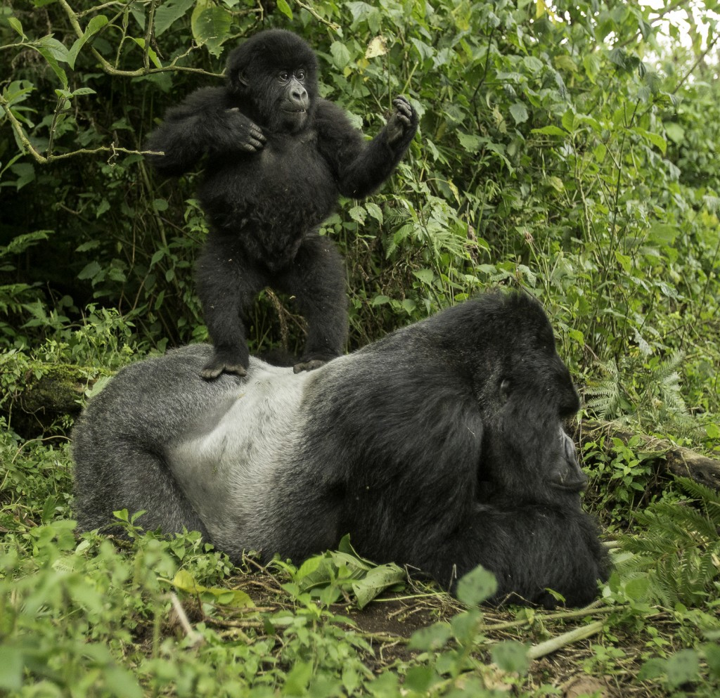 Mountain Gorilla_8818_1